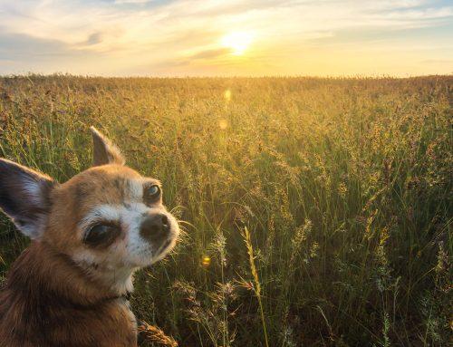 Seniorhundguiden: En god alderdom for veteranhunden